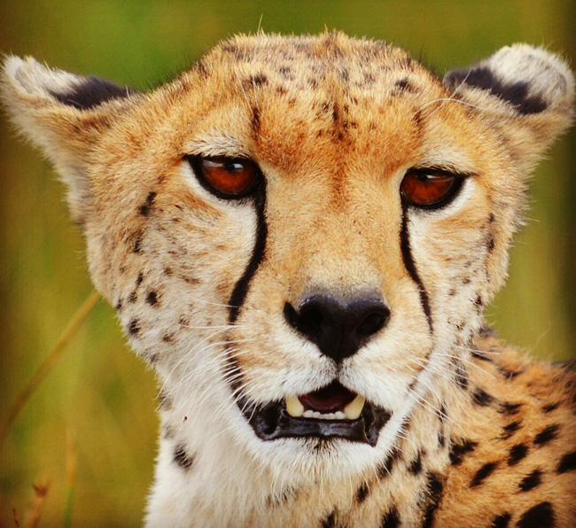 cheetah-in-serengeti