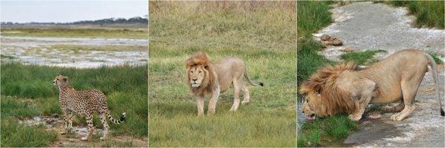 cheetah-lion-encounter-serengeti