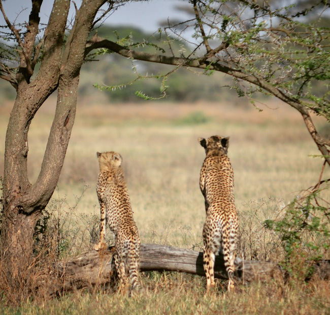 cheetas-in-serengeti