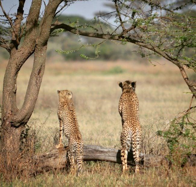 cheetas-in-serengeti