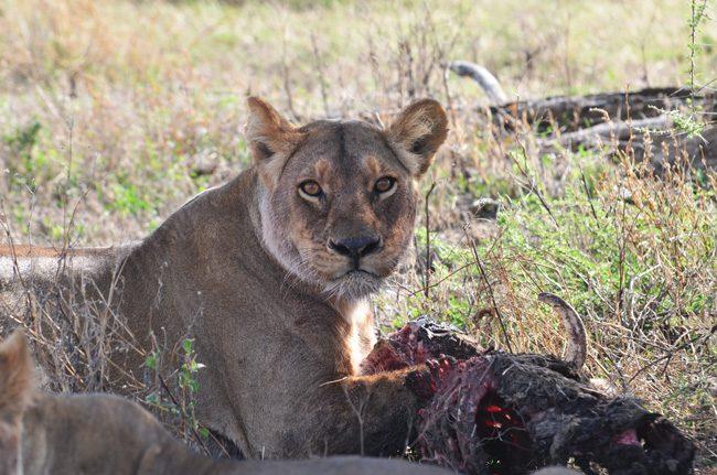 female-lion-in-ngorongoro