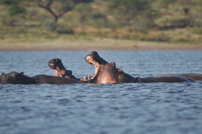 hippopotamuses-lake-maesk-tanzania