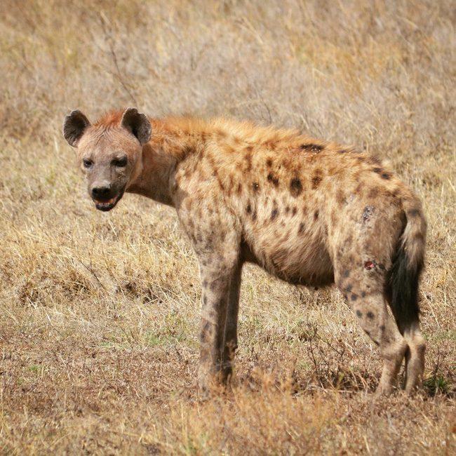 hyenas-serengeti