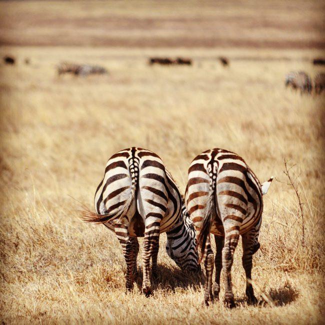 zebras-in-ngorongoro-crater