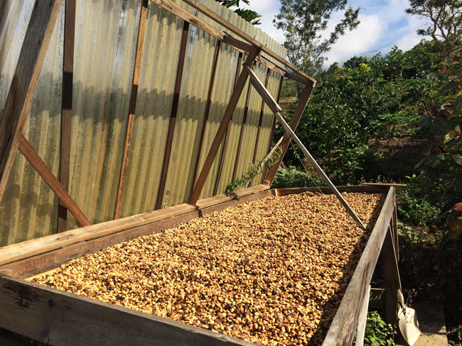 Drying coffee beans - Lilikoi Inn Kona Hawaii