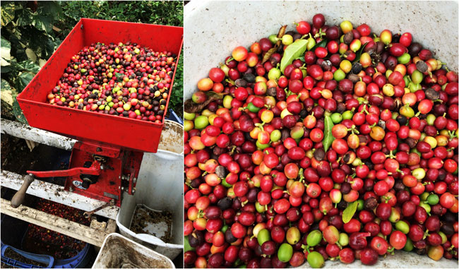 Kona Coffee - picked cherries at Lilikoi Inn Hawaii