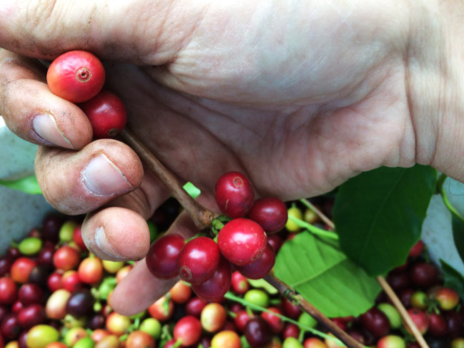 Picking ripe coffee - Lilikoi Inn Kona Hawaii