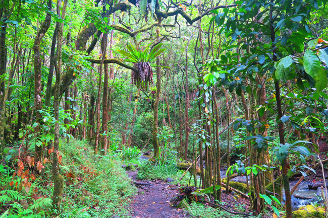 Pipiwai Trail Hike Rainforest - Road to Hana - Maui Hawaii