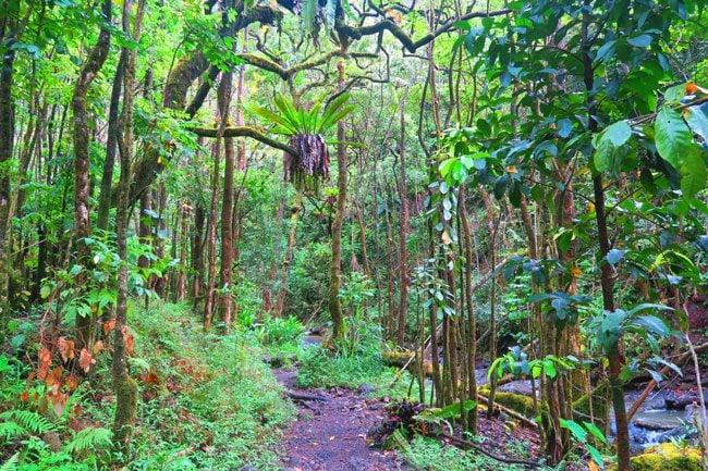 Pipiwai Trail Hike Rainforest - Road to Hana - Maui Hawaii