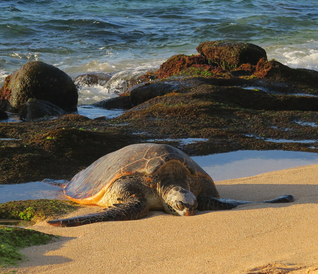 Sea Turtle in Ho'okipa Beach - Maui Hawaii
