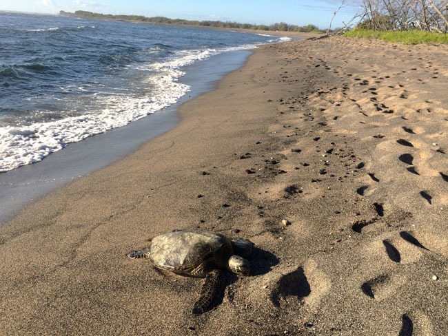 Sea turtle -Kaloko-Honokohau Park - Big Island Hawaii