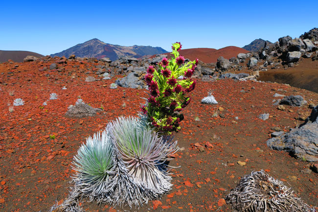 Sliding Sands Hike - Haleakala Crater - Maui Hawaii - Wild Desert Flower