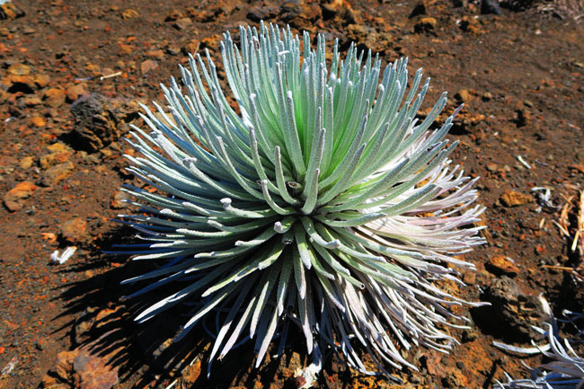 Sliding Sands Hike - Haleakala Crater - Maui Hawaii - desert plant