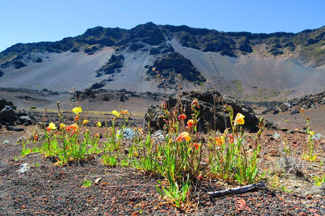 Sliding Sands Hike - Haleakala Crater - Maui Hawaii - wild flower blooming