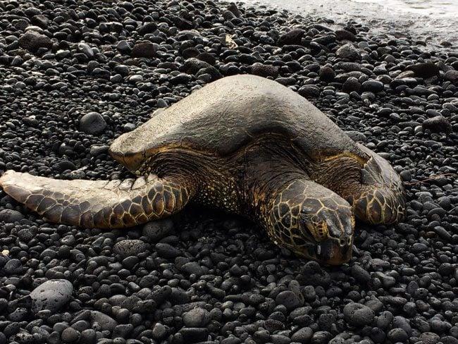 sea turtle - Kiholo Bay - Big Island Hawaii