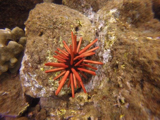 starfish - koloa landing - kauai - hawaii