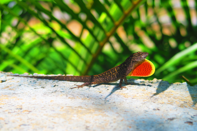 Exotic lizard - Oahu - Hawaii