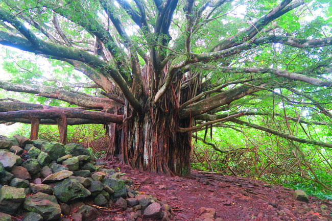 Giant Banyan Tree - Pipiwai Trail - Maui - Hawaii