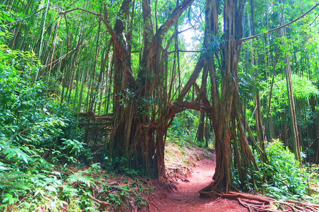 Hike to Manoa Falls - Oahu - Hawaii