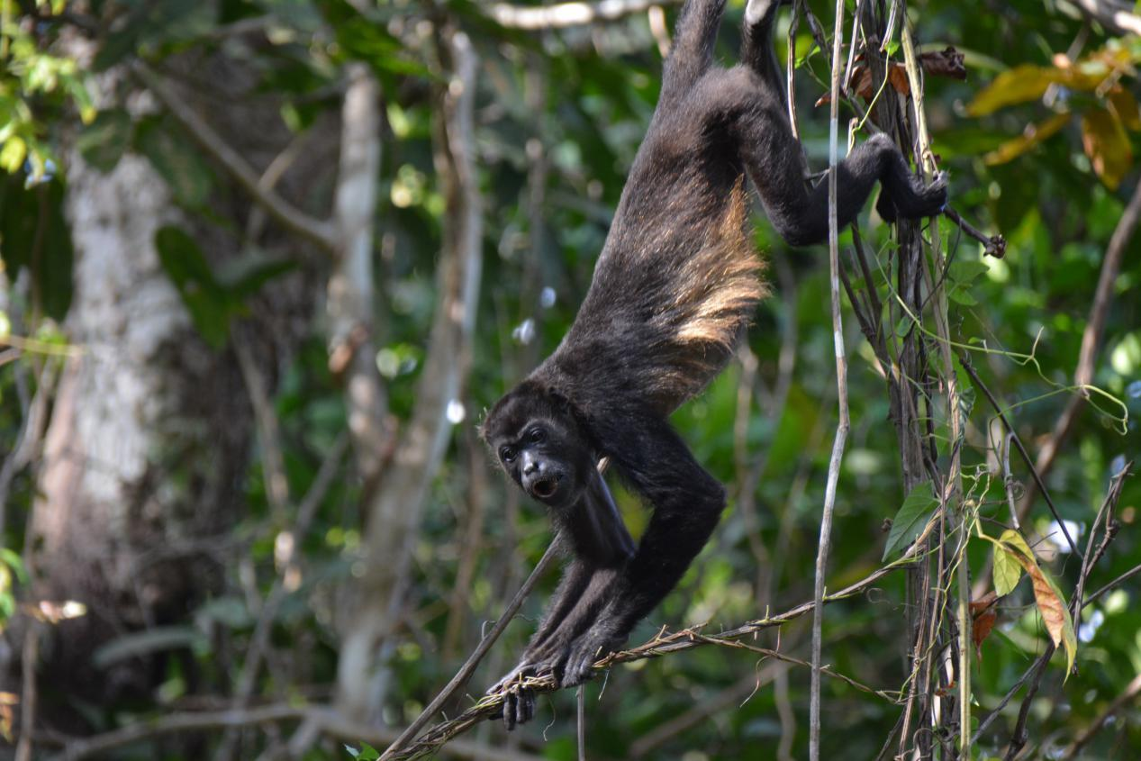 Starry Horizons - Howler monkeys