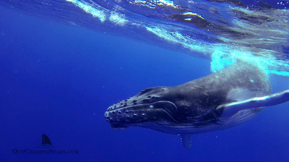 Starry Horizons - swimming with humpback whales