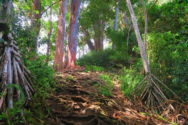 Waikamoi Nature Trail - Hana Highway - Maui - Hawaii