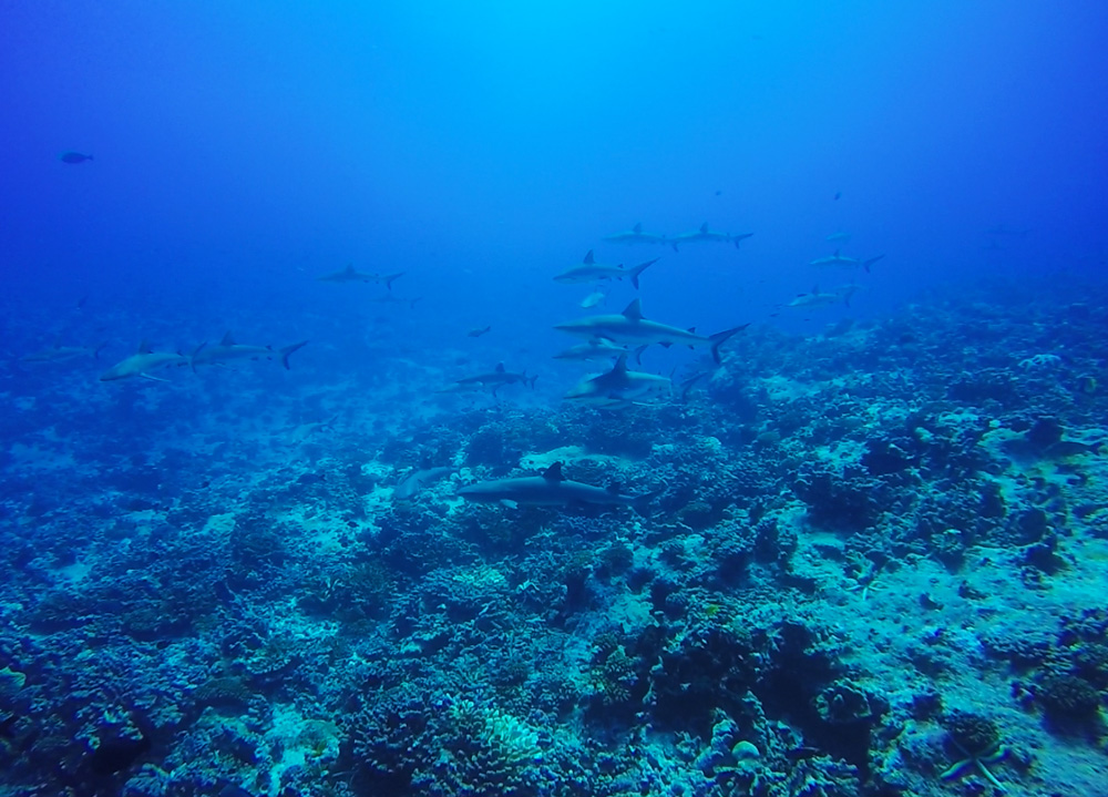 צלילה בפאקאראבה כרישים - טהיטי - פולינזיה הצרפתית - wall of sharks
