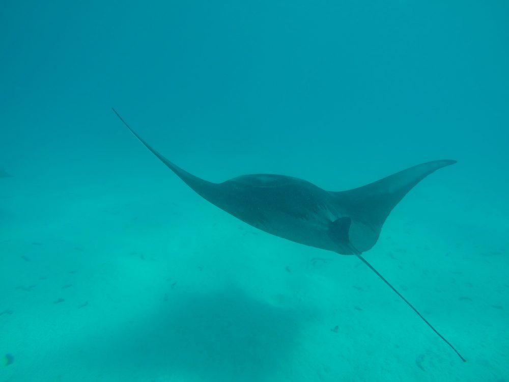 שחייה עם מנטה ריי - טהיטי - פולינזיה הצרפתית