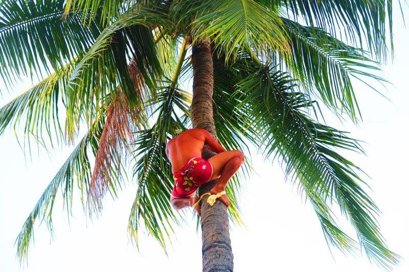 Coconut climbing sport Tahiti French Polynesia