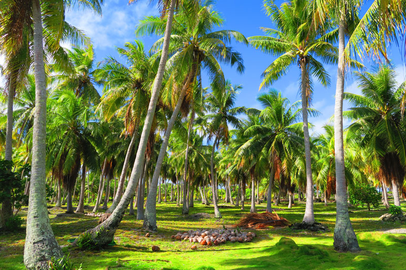 Coconut grove Fakarava French Polynesia