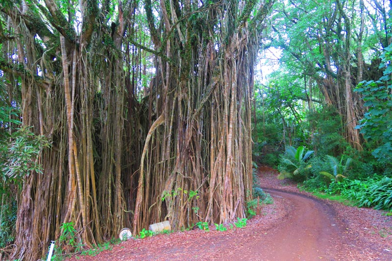 Giant Banyan Tree Pitcairn Island