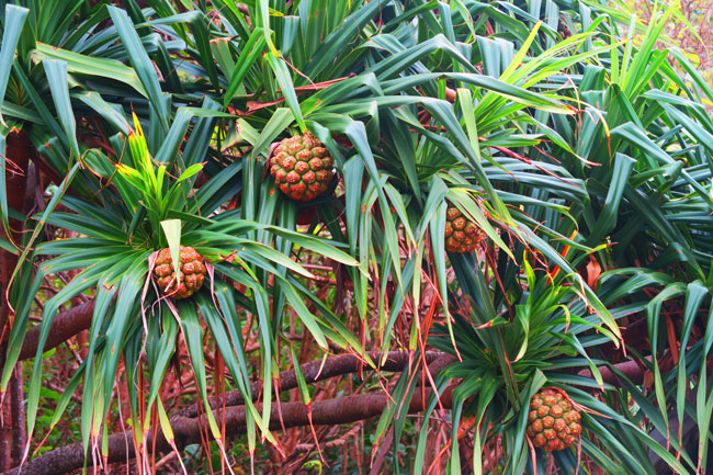 pandanus fruit Eco Trail Pitcairn Island