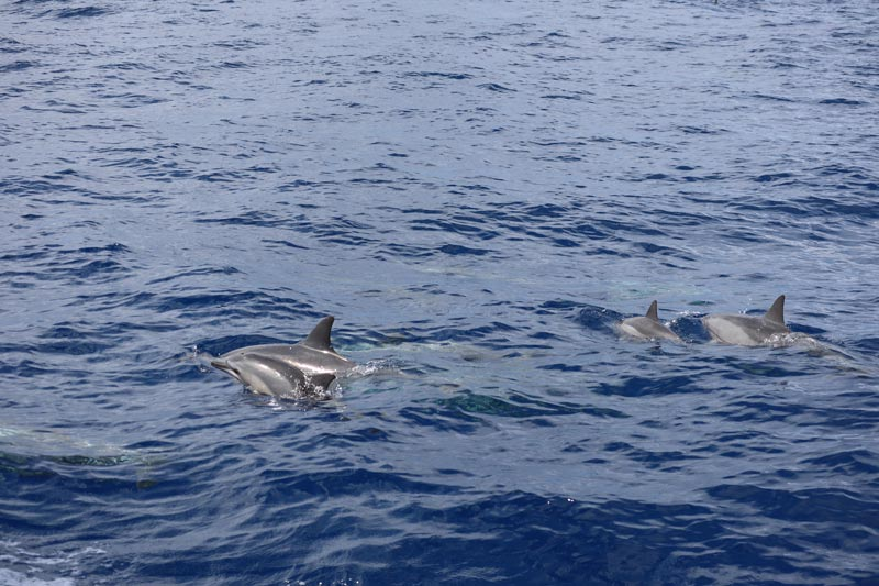 Dolphin tour in Reunion Island