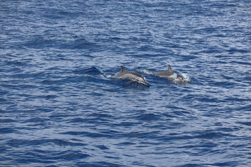 Dolphins in Reunion Island
