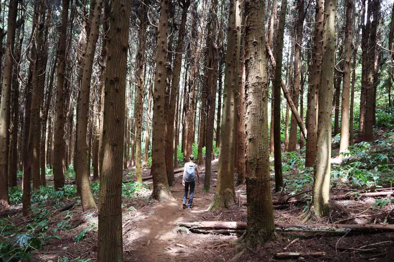 Fenetre des Makes hike - Reunion Island - cedar forest