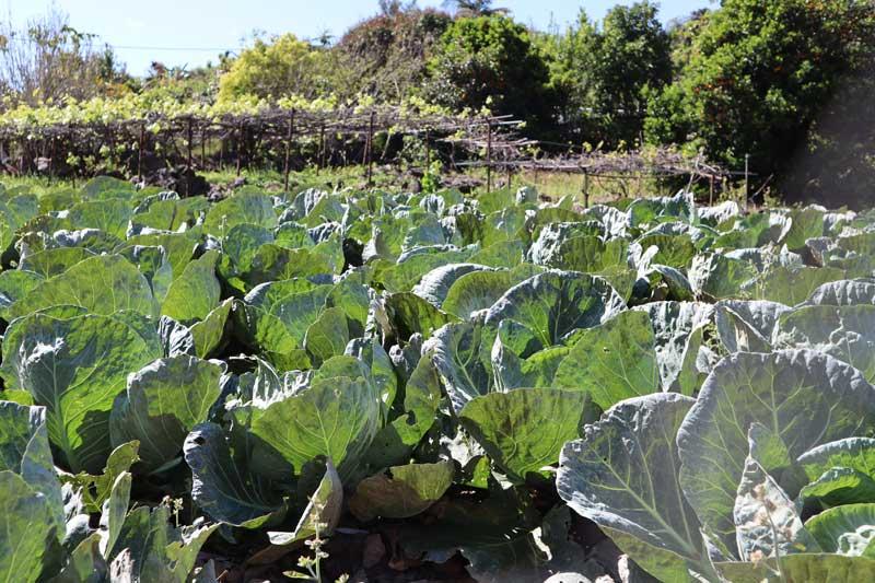Ilet a Cordes - Reunion Island - kale field