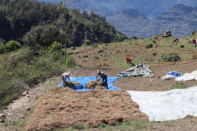 Ilet a Cordes - Reunion island - farmers in lentil field