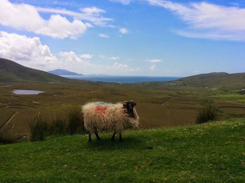 Achill Island - Ireland - sheep