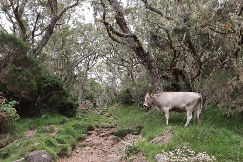 Cow on hiking trail - La Nouvelle - cirque de mafate - Reunion Island