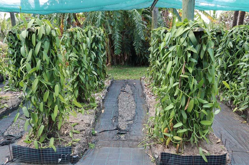 Growing vanilla plants - Domaine du Grand Hazier Vanilla Plantation- Reunion Island