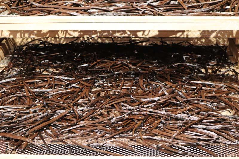 Unsorted dried vanilla - Domaine du Grand Hazier Vanilla Plantation- Reunion Island