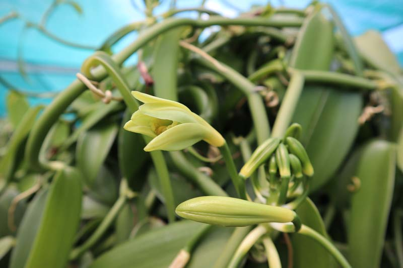 Vanilla flower - Domaine du Grand Hazier Vanilla Plantation- Reunion Island
