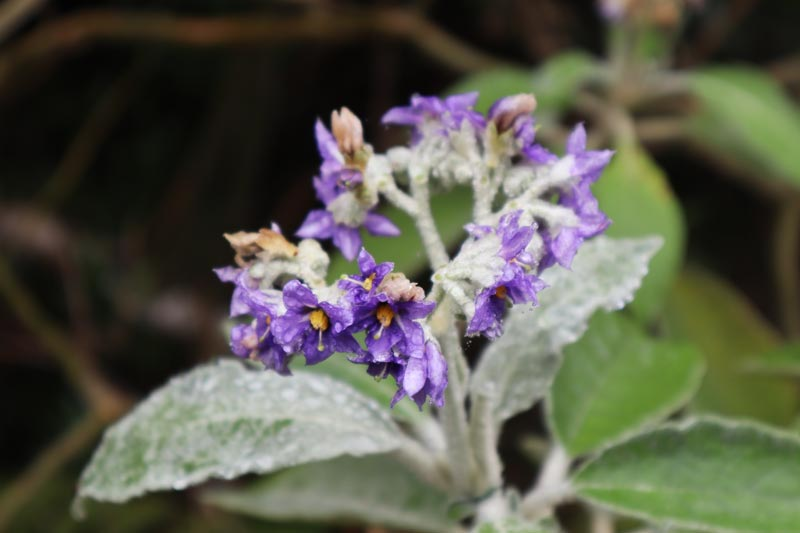 flower on hiking trail to la nouvelle - cirque de mafate - Reunion Island