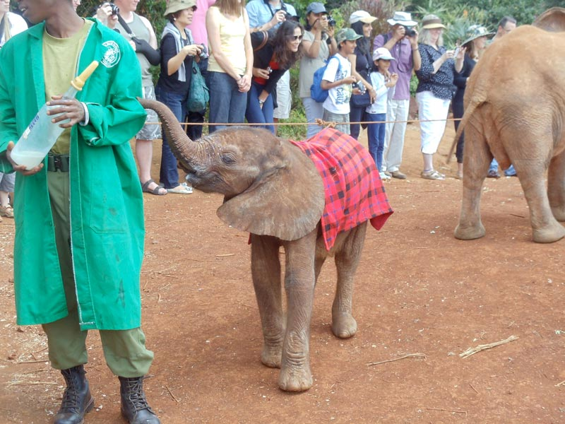 baby elephant in in elephant sanctuary - nairobi kenya