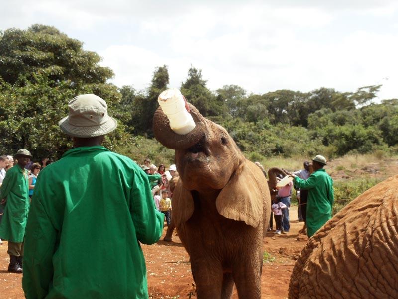 elephant drinking milk in David Sheldrick Wildlife Trust - nairobi kenya 2