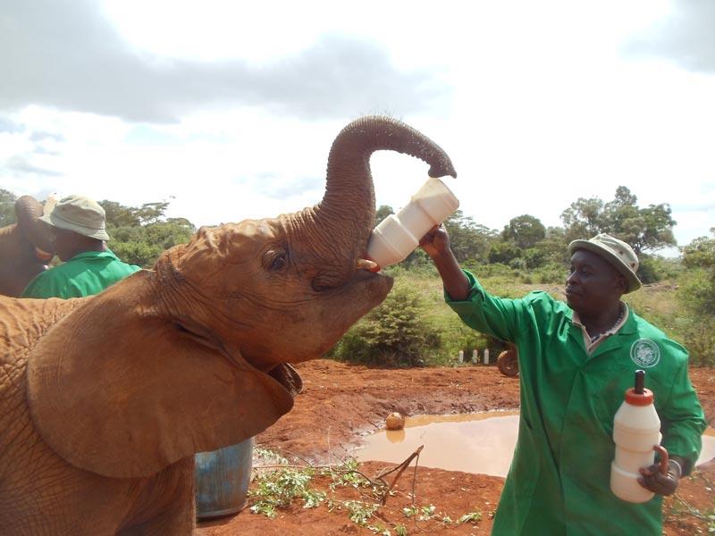 elephant drinking milk in David Sheldrick Wildlife Trust - nairobi kenya 3