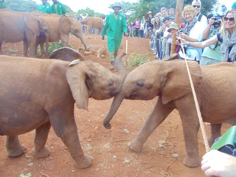 elephants playing in David Sheldrick Wildlife Trust - nairobi kenya