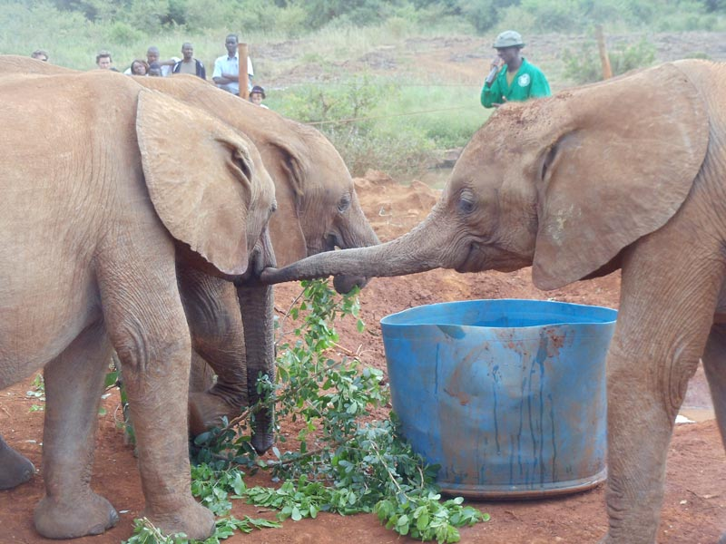 elephants playing in in elephant sanctuary - nairobi kenya 2