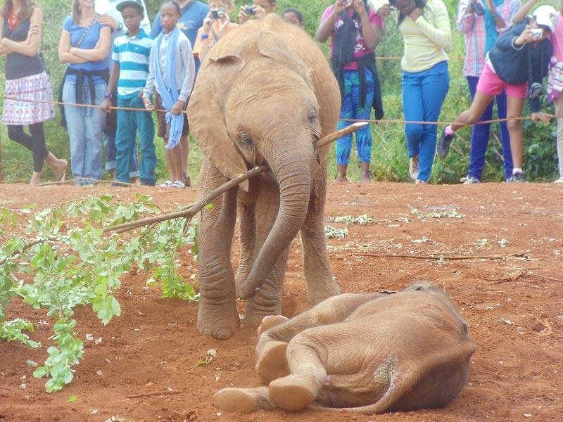 elephants playing in in elephant sanctuary - nairobi kenya