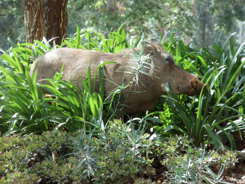 wild pig in Nairobi National Park - kenya